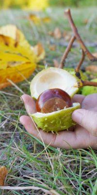 Kastanien sammeln im Herbst mit Kindern zum Basteln