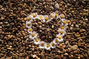Herz aus Gänseblümchen legen