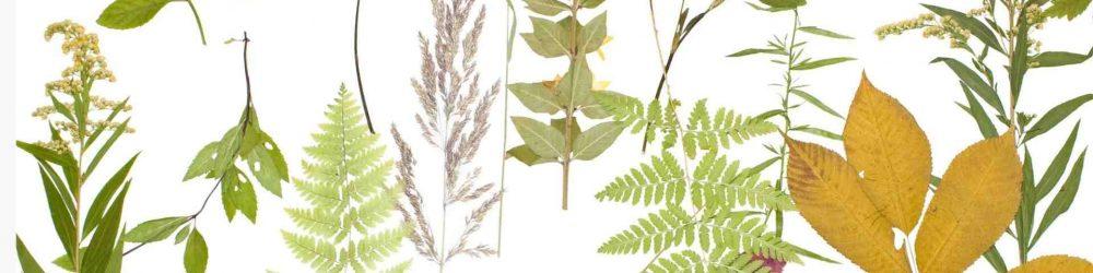 Blätter sammeln für ein Herbarium. DIY im Herbst.