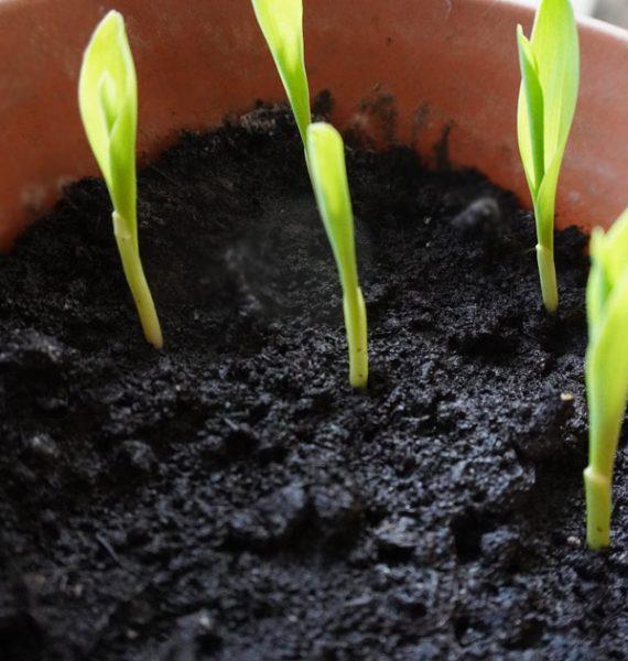 Mais selber ziehen - Gärtnern mit Kindern